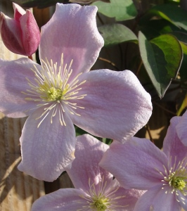 Clematis blossom May 2015.
