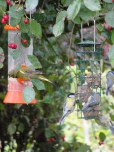 greenfinch Chloris chloris