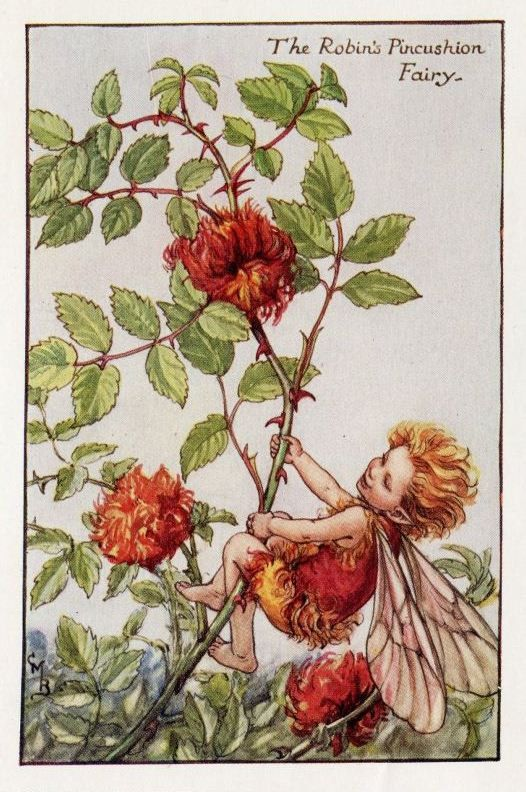 robins pincushion fairy cicely mary barker